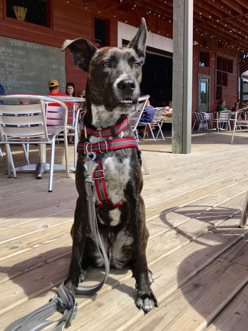 Brindle dog on the porch at pet friendly Mt. Rushmore Brewing Company in Custer, SD