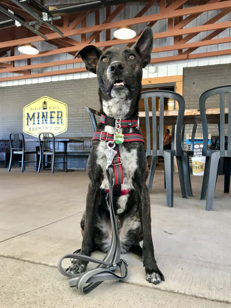 Brindle dog on the patio at pet friendly Miner Brewing Company in Hill City, SD