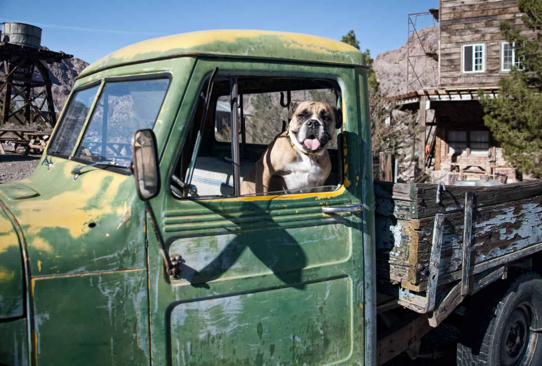 Bulldog in an old, abandoned green truck