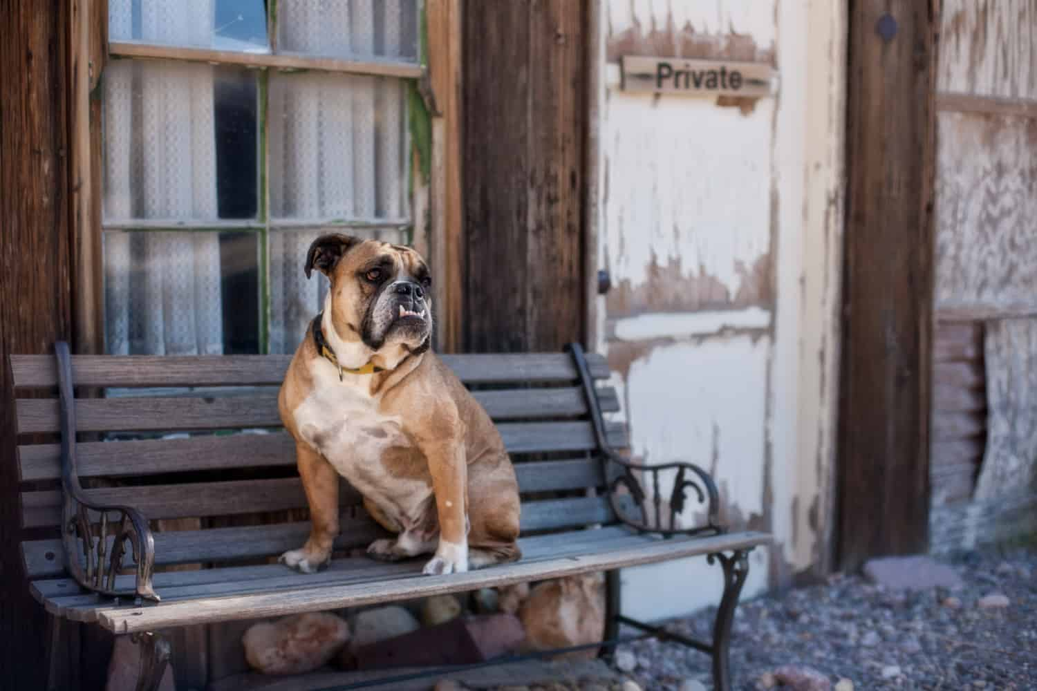 Bulldog sitting on a bench in a pet friendly ghost town
