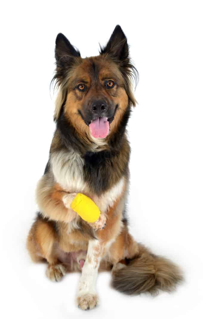 German Shepherd dog with a bandage on his paw