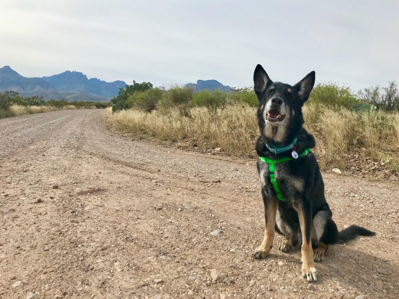 German Shepherd dog on a dirt road in Big Bend National Park, TX