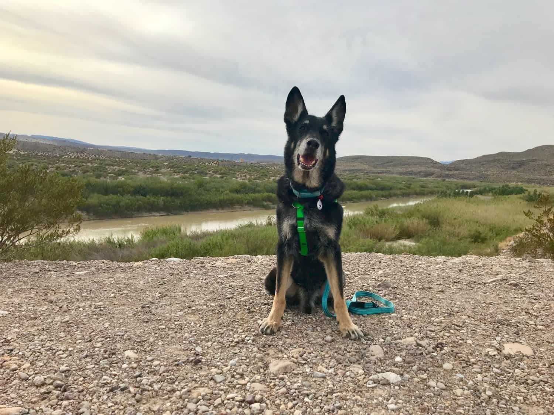 German Shepherd Dog by the Rio Grande River in Big Bend National Park, TX