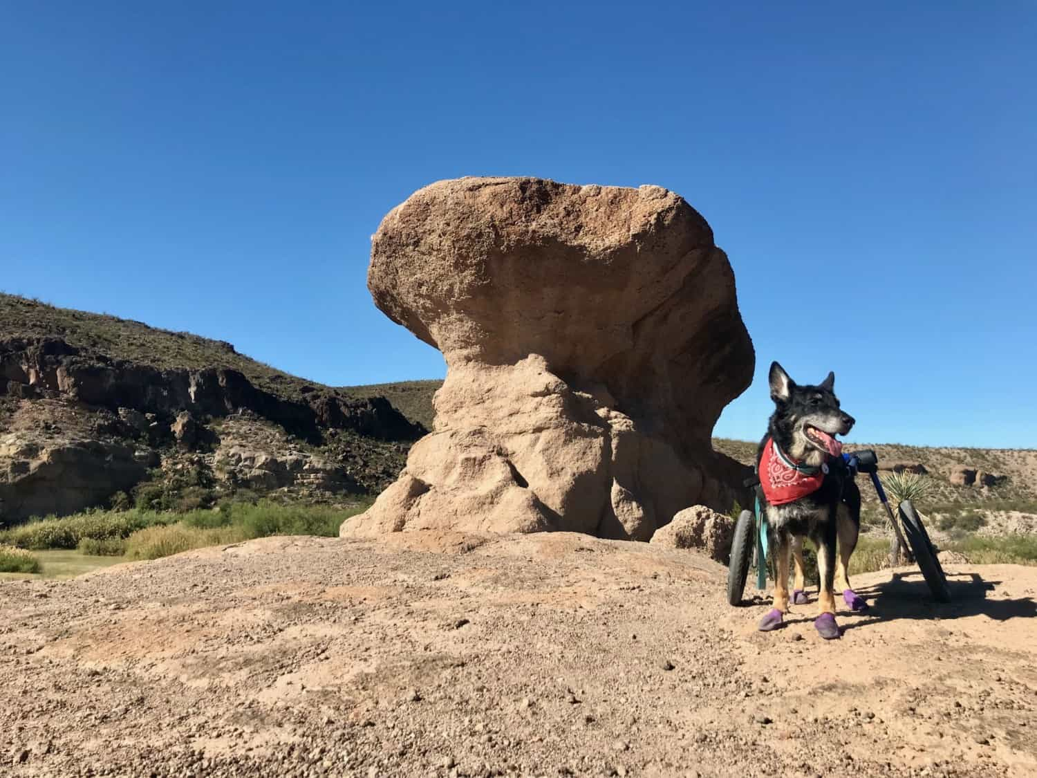 Dog on the pet friendly Hoodoos Trail in Big Bend Ranch State Park, Texas