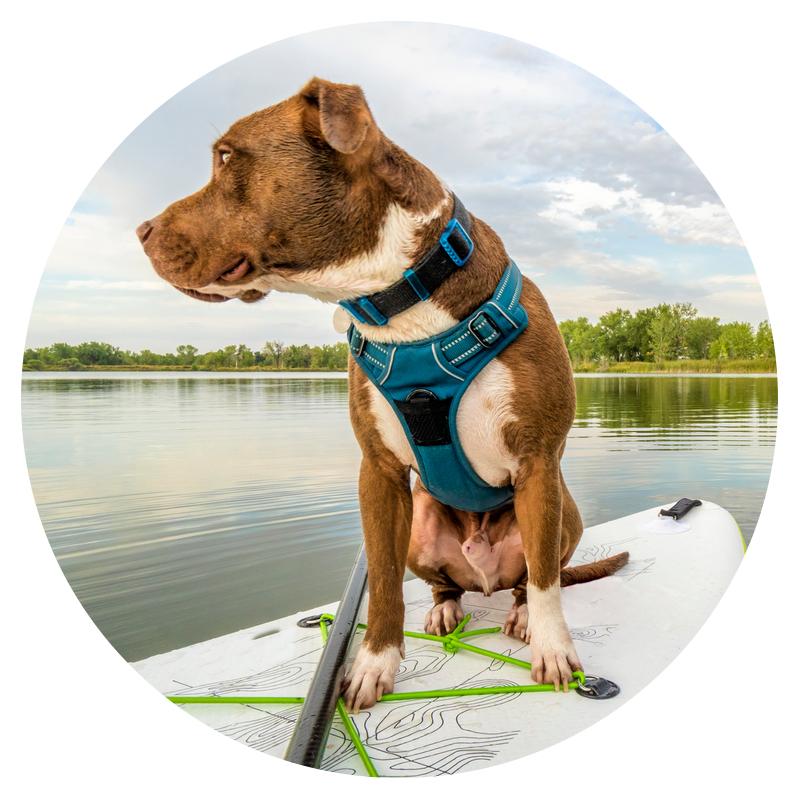 Pitbull on a paddleboard on the Chesapeake Bay, MD
