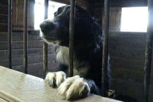 Border Collie dog looking out from behind bars