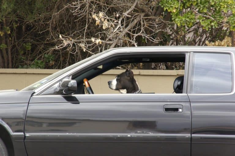 Pitbull Dog sitting in car in Marfa, TX