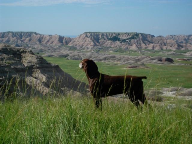 Chocolate lab dog standing on a grassy prairie