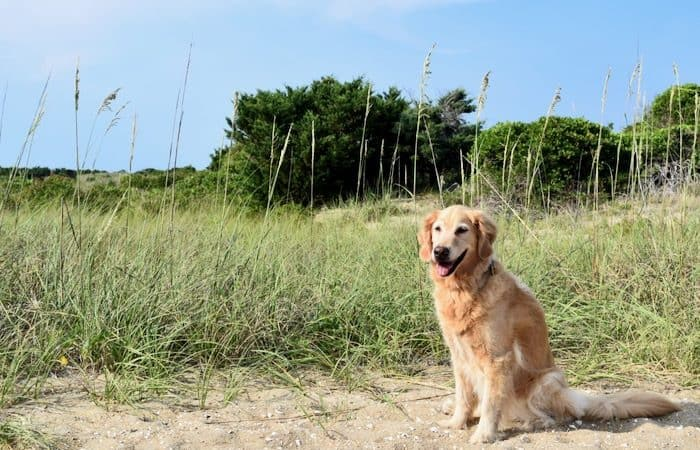 Golden Retriever dog on a sandy dune with grass and trees in the background