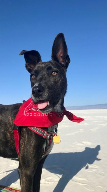 Happy brindle dog in a red bandana at White Sands National Park, NM