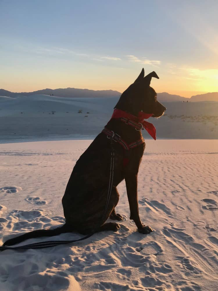 Brindle dog in red bandana watching the sunset at pet friendly White Sands National Park, NM