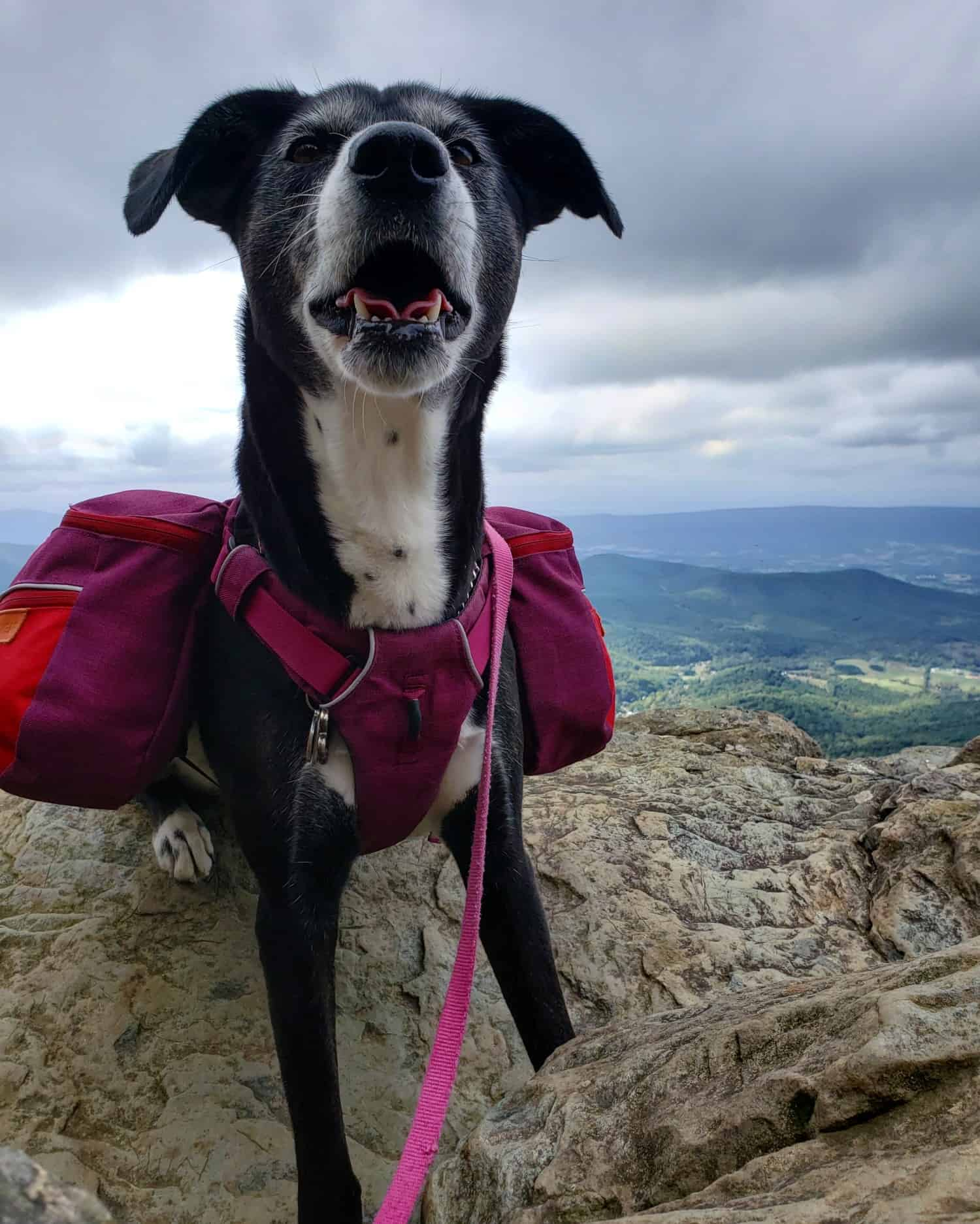Dog in a magenta backpack and harness sitting on a mountain top