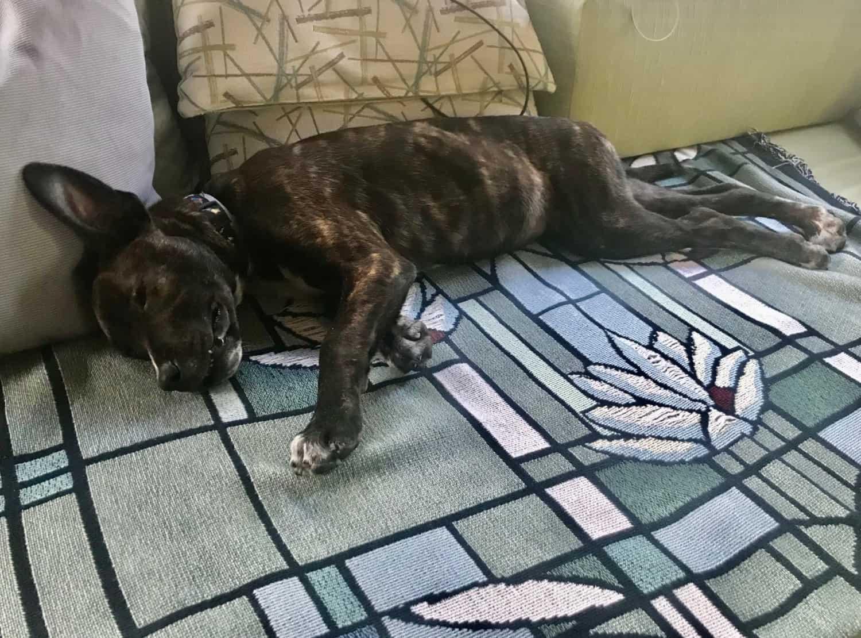 Puppy sleeping on Winnebago sofa