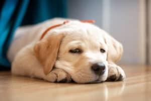 Charming little Labrador Retriever puppy