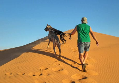 Two Great Dane dogs and a guy in a green t-shirt walking up a pink sand dune at sunset