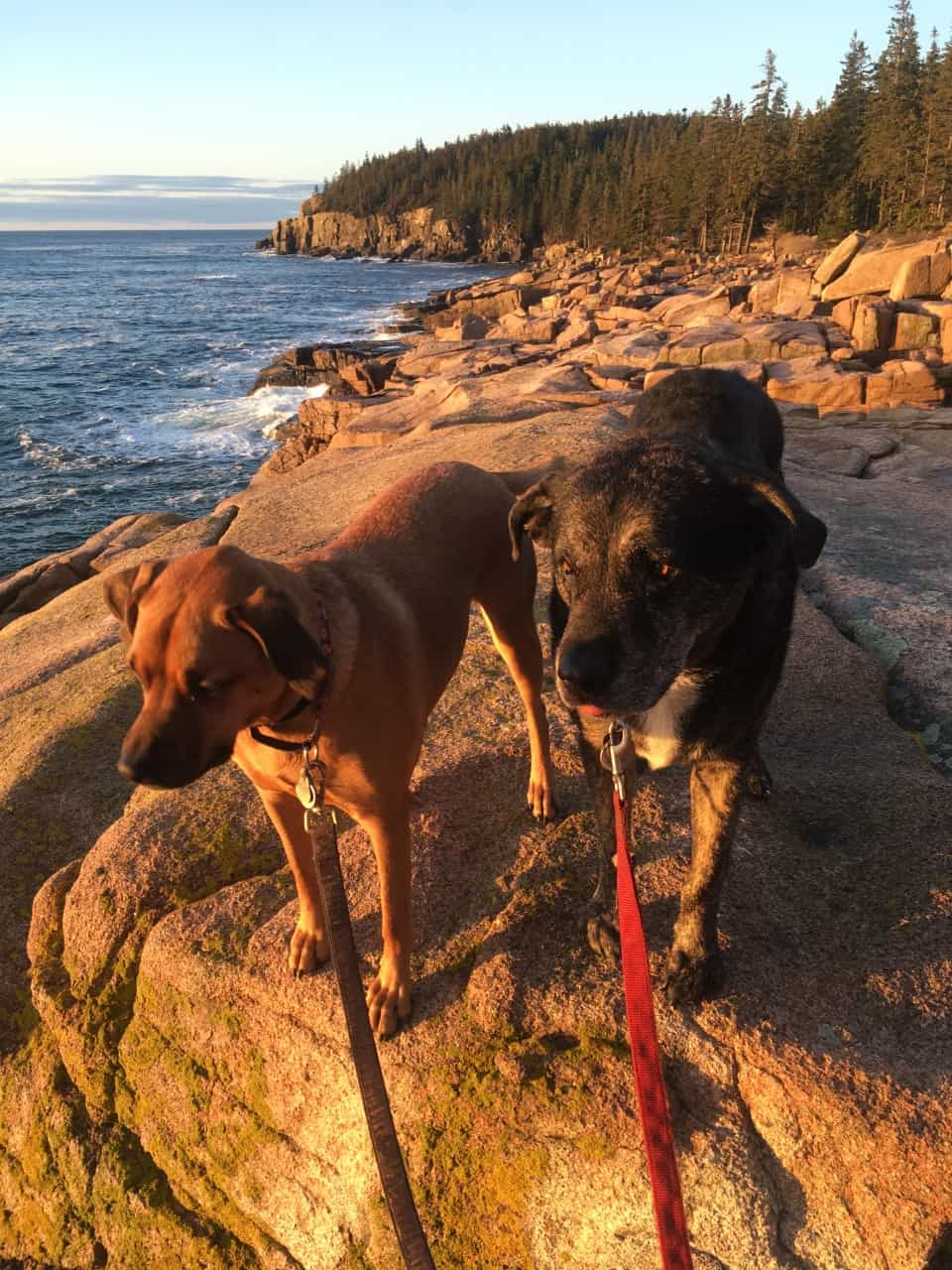 Dogs in New England on the coast at pet friendly Acadia National Park, Maine