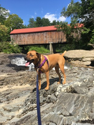 Dog by a covered bridge in New England