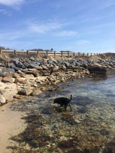 Dog on the shore on Cape Cod, MA