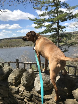 Dog on a pet friendly trail in Gillette Castle State Park in MA