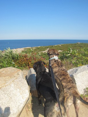 Dogs looking at the beach at Halibut Point State Park, CT