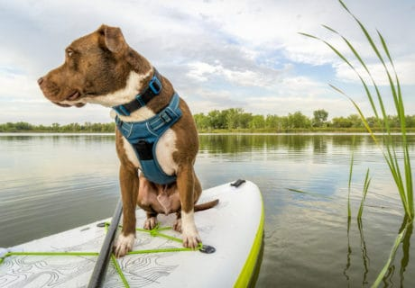 Pitbull traveling on a paddleboard
