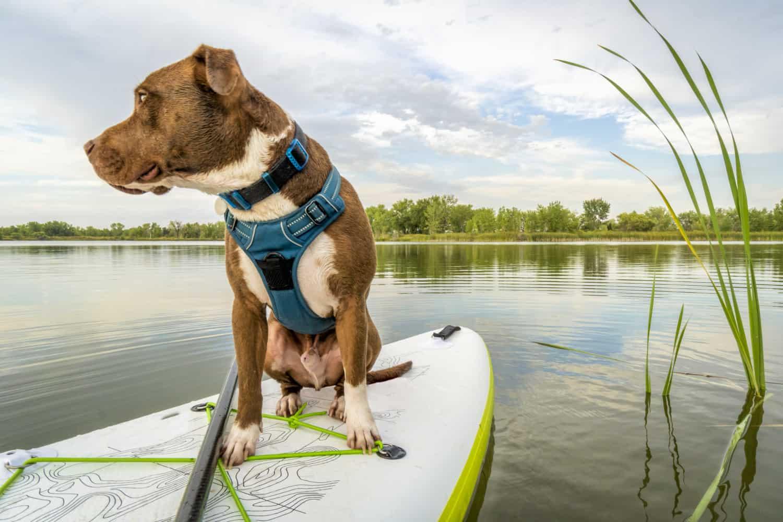 Pitbull traveling on a paddleboard
