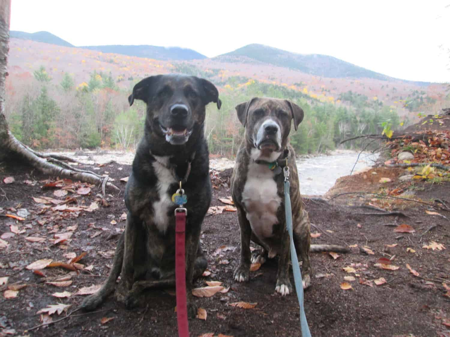 Dogs on a pet friendly trail in the White Mountains, NH