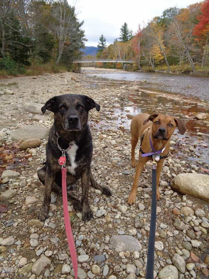 Dogs in New England on a pet friendly trail in the White Mountains, NH