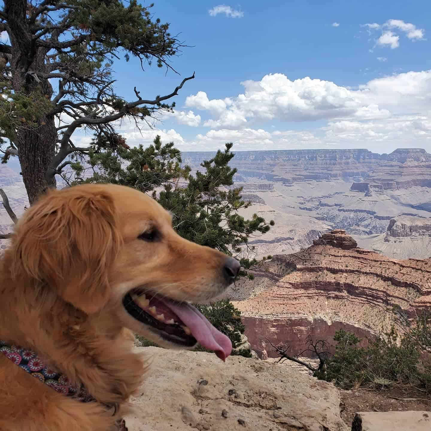 Beautiful Golden Retriever dog overlooking a spectacular canyon view.