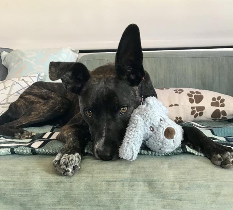 Brindle dog cuddling a stuffed grey puppy