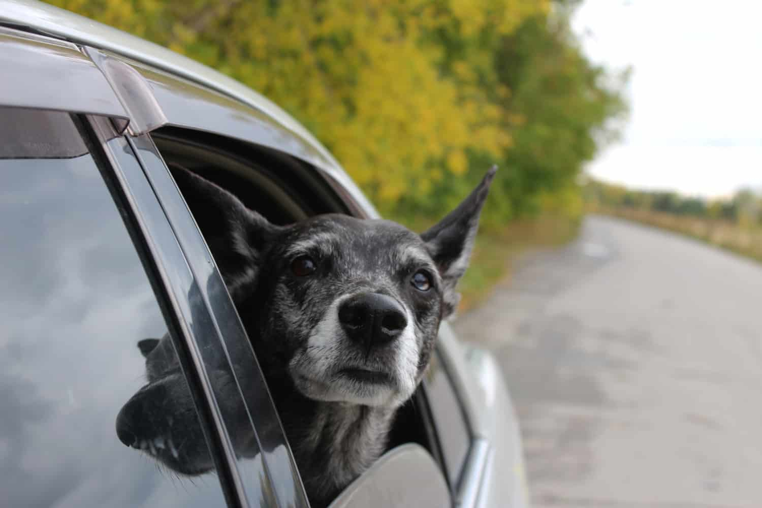 Elderly dog looking out a car window