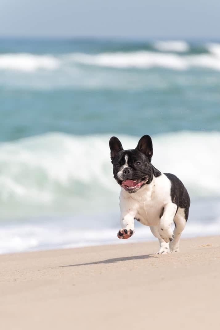 French Bulldog Running on Beach