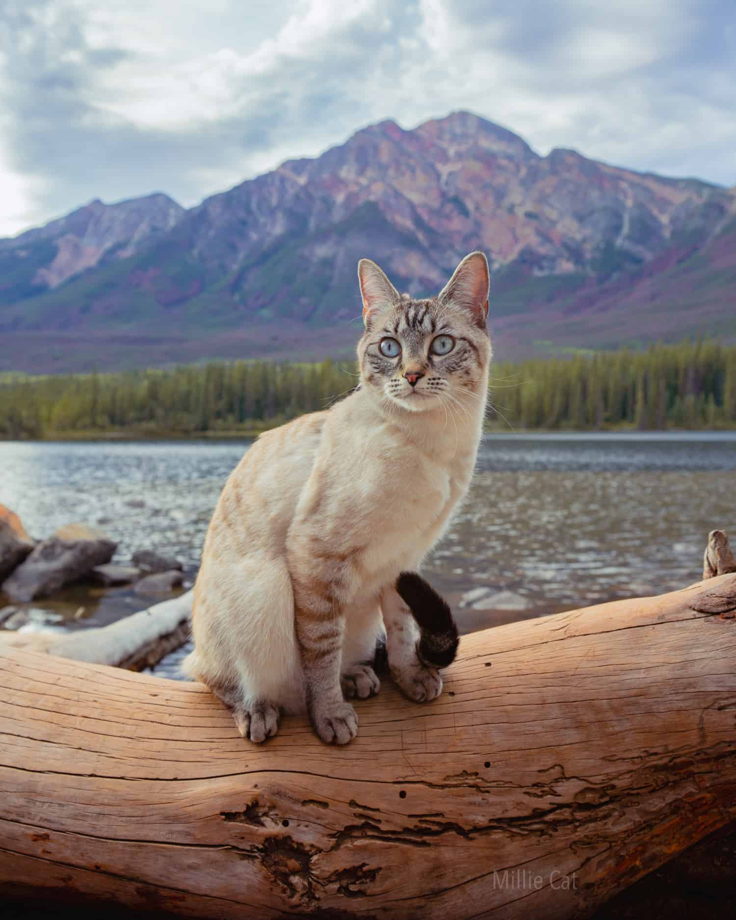 White and grey cat sitting on a log in front of a lake with a mountain in the background