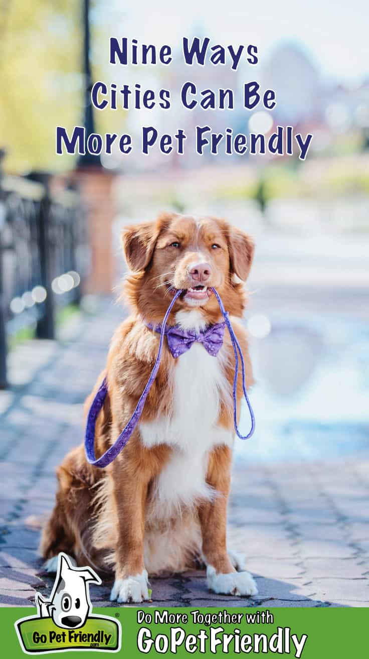 Nova Scotia Duck Tolling Retriever dog in a purple bowtie sitting on a pet friendly city sidewalk with his leash in his mouth