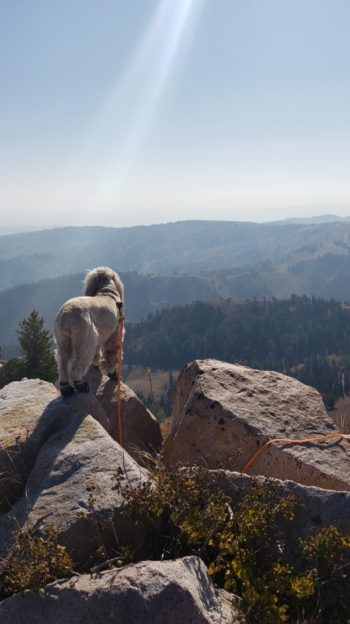 Blonde Cocker Spaniel dog standing on a mountain top admiring the view