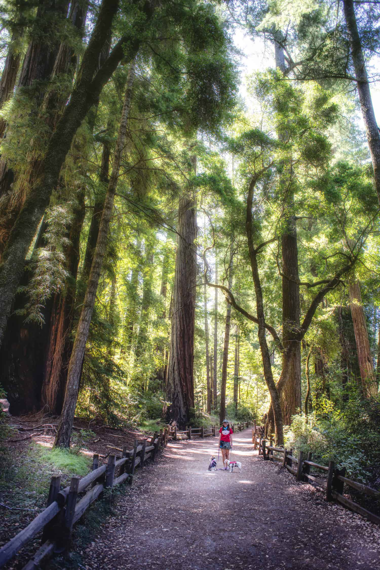 A woman and two dogs walking down a pet friendly trail surrounded by massive redwood trees