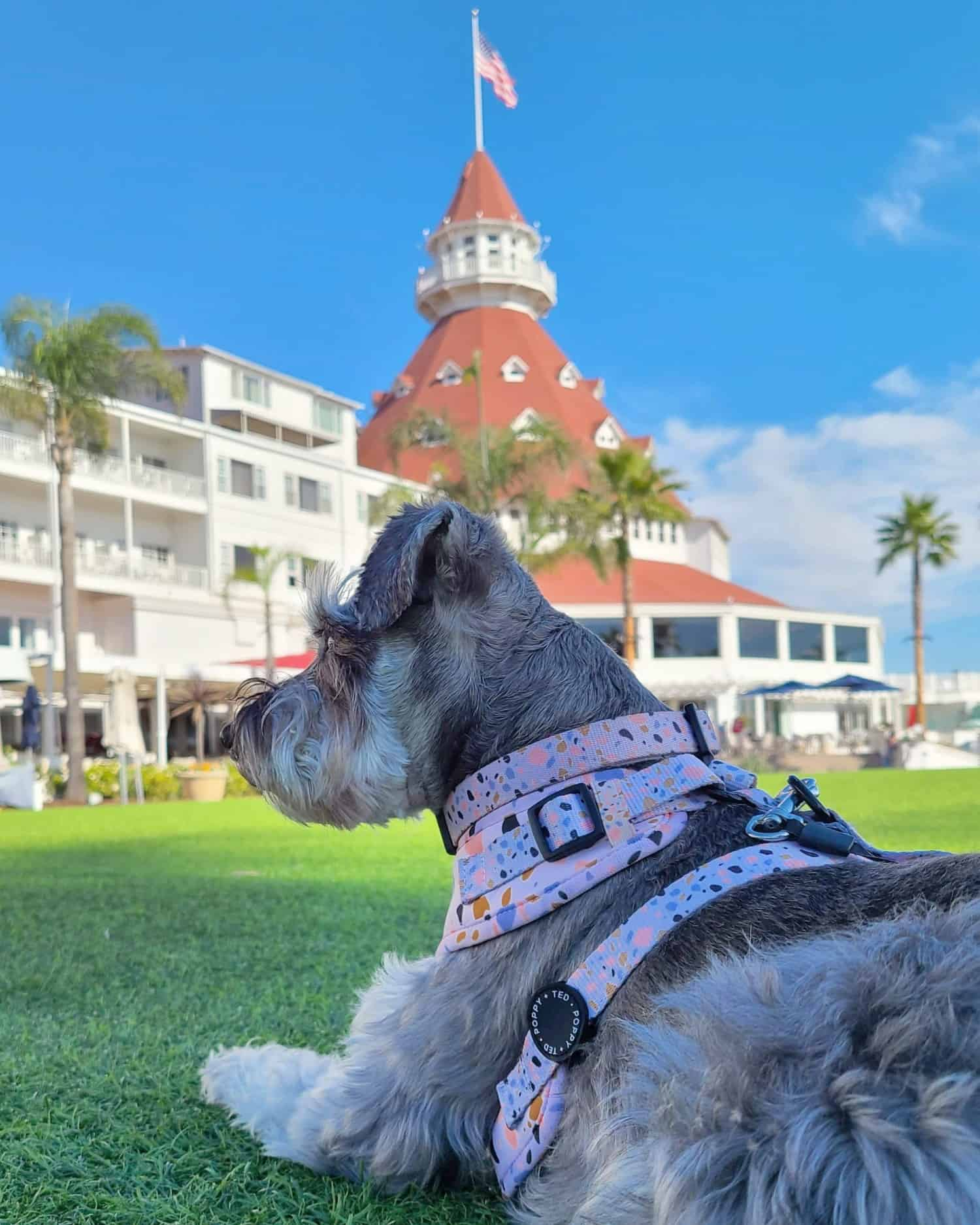 Mini Schnauzer in a pink harness lying on the grass in front of a classic hotel with a red shingle roof