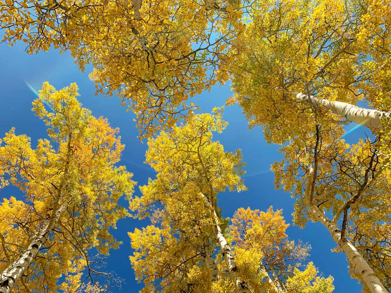 Golden aspen leaves from below with a blue sky in the background