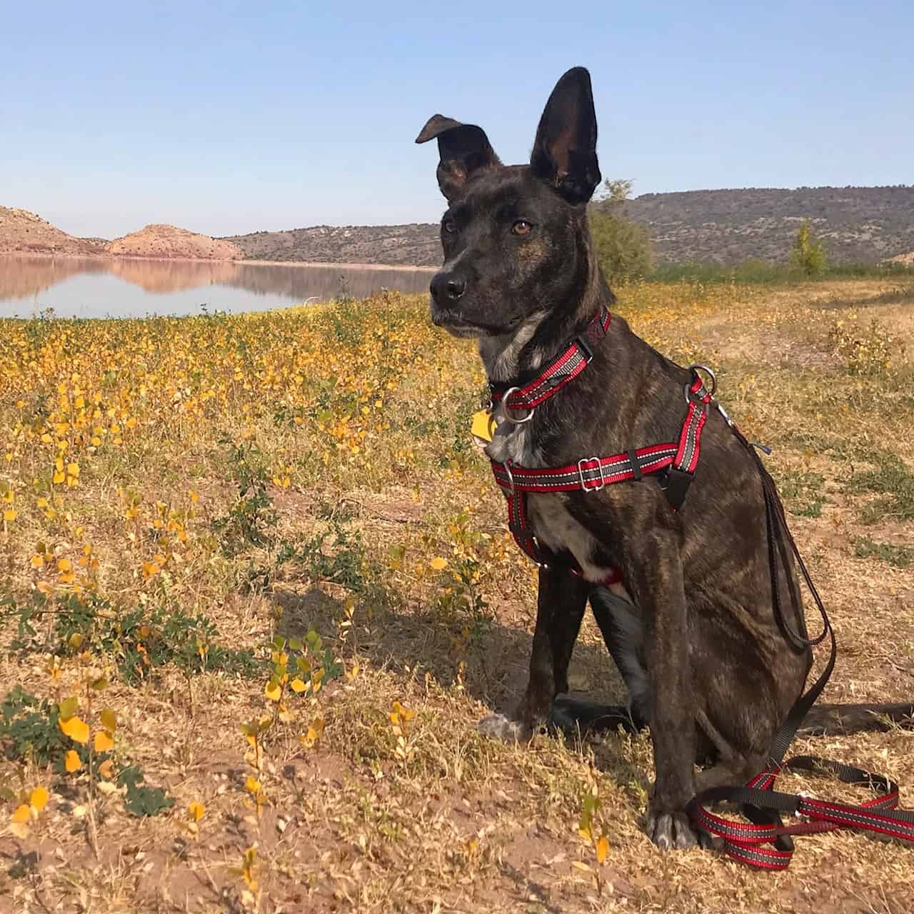 Brindle colored dog with a red color and harness sitting in a field with a lake in the background
