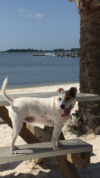 White terrier dog standing on a picnic table bench under a palm tree with a white sand beach in the background