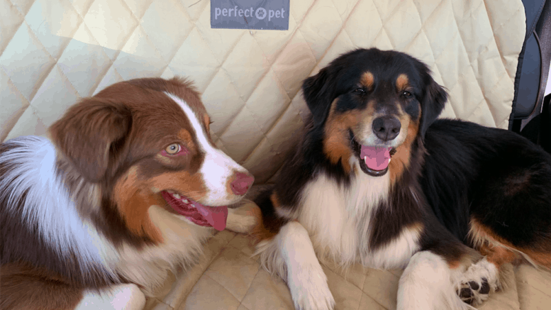 Two smiling Australian Shepherd Dogs in the back seat of a car