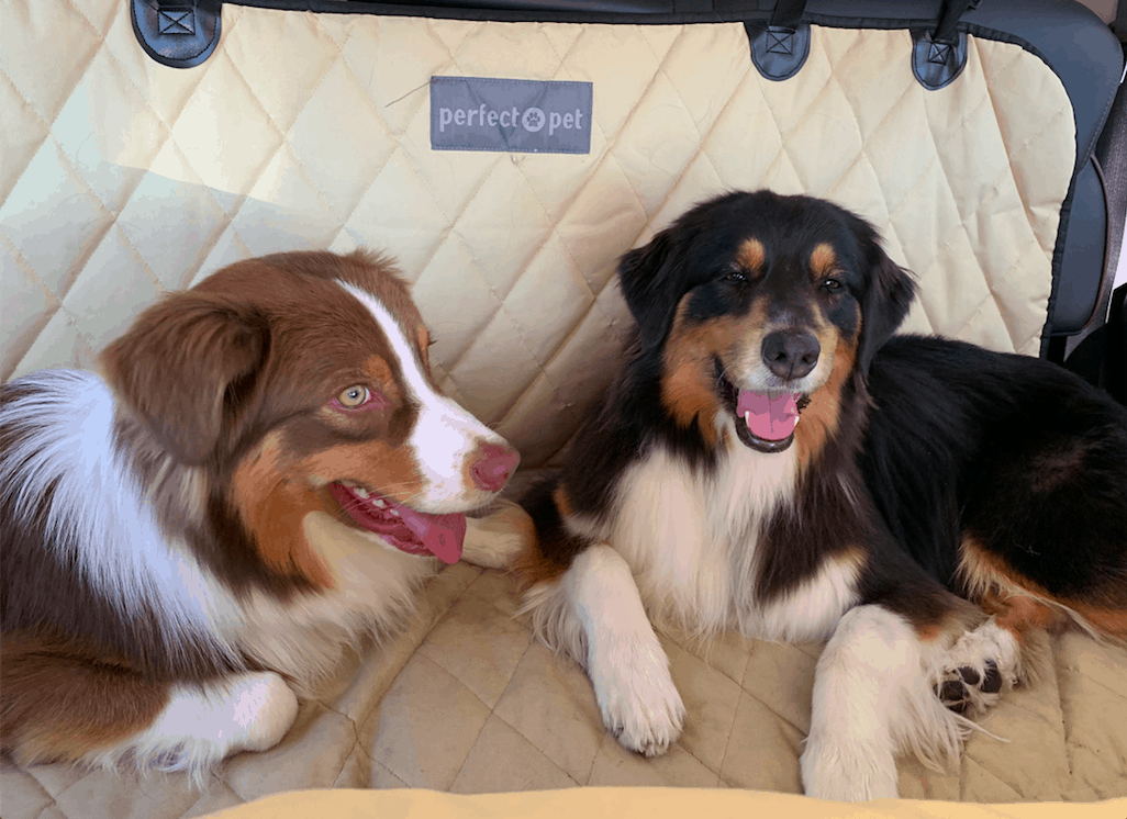 Two smiling Australian Shepherd dogs preparing for a pet friendly trip
