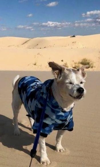 White dog in a blue Hawaiian shirt standing on a sand dune with sand dunes in the background