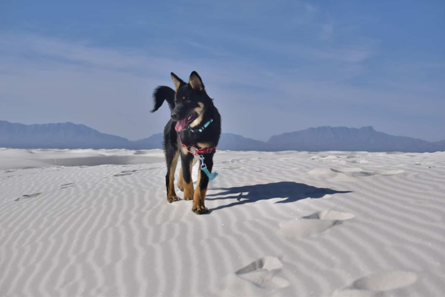 Black and tan dog standing on a white dune with mountains in the background