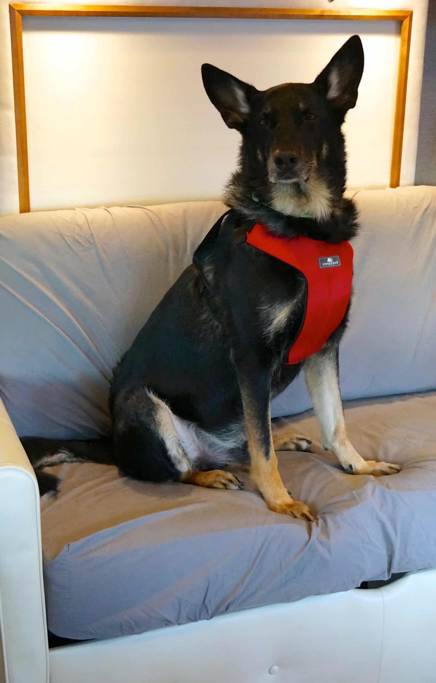 Black German Shepherd in a red crash-tested car harness