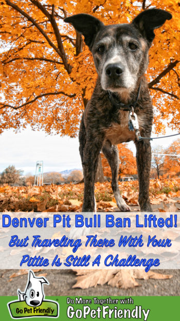 Senior Pit Bull in Denver with fall foliage in the background