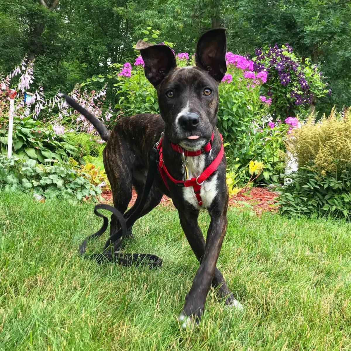 Brindle puppy in a red harness in front of a flower garden