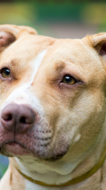 Outdoor Portrait close-up American Pit Bull Terrier in Denver