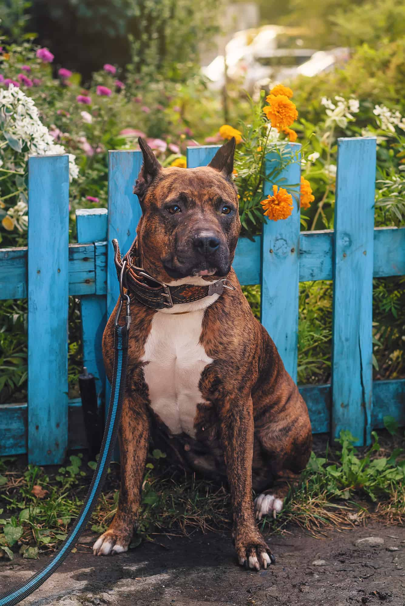 Pit bull sitting in front of a blue wooden fence front garden with flowers