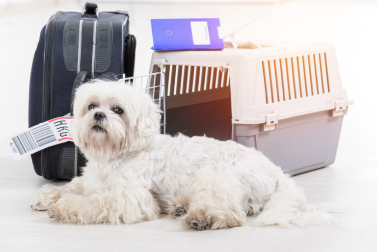Fluffy white dog waiting at the airport with airline cargo pet carrier and luggage in the background